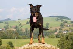 Πορτρέτο του σκυλιού Στοκ Φωτογραφίες