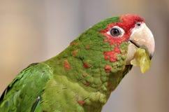 Στρατιωτικό macaw πορτρέτου Στοκ Φωτογραφία