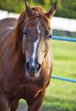 Πορτρέτο του συμπαθητικού sorrel αλόγου Στοκ φωτογραφίες με δικαίωμα ελεύθερης χρήσης