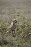 Πορτρέτο του τσιτάχ στις χλόες, Serengeti, Τανζανία στοκ φωτογραφία με δικαίωμα ελεύθερης χρήσης