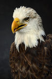 Πορτρέτο του φαλακρού αετού Στοκ Φωτογραφίες