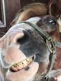 Πορτρέτο του χαμόγελου αλόγων Στοκ Εικόνες