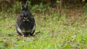 Πορτρέτο του χαριτωμένου μαύρου κουνελιού απόθεμα βίντεο