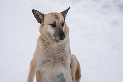 Πορτρέτο του χαριτωμένου μικτού περιπλανώμενου σκυλιού φυλής με τα σημάδια snout που παραλαμβάνεται στις πάλες σκυλιών οδών στοκ εικόνες