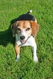 Πορτρέτο του χαριτωμένου σκυλιού λαγωνικών στοκ εικόνα