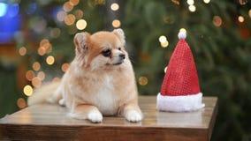 Πορτρέτο του χαριτωμένου σκυλιού στο καπέλο Santa Χαρούμενα Χριστούγεννα και έννοια καλής χρονιάς φιλμ μικρού μήκους