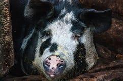 Πορτρέτο του χοίρου σε ένα χοιροστάσιο Στοκ φωτογραφία με δικαίωμα ελεύθερης χρήσης
