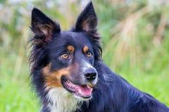 Πορτρέτο του χρωματισμένου σκυλιού κόλλεϊ συνόρων Στοκ φωτογραφία με δικαίωμα ελεύθερης χρήσης