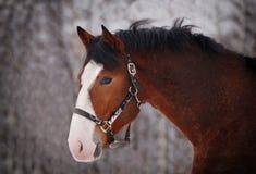 Πορτρέτο του όμορφου αλόγου κόλπων με το μεγάλο άσπρο χαρακτηρισμό Στοκ Εικόνες