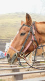 Πορτρέτο του όμορφου καφετιού αλόγου στον τομέα λόφων Στοκ φωτογραφίες με δικαίωμα ελεύθερης χρήσης