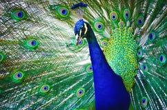Πορτρέτο του όμορφου peacock με τα φτερά έξω Στοκ φωτογραφίες με δικαίωμα ελεύθερης χρήσης