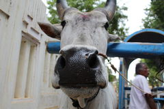 Πορτρέτο του Bull στοκ εικόνες