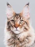 πορτρέτο του Maine γατών coon Στοκ εικόνα με δικαίωμα ελεύθερης χρήσης