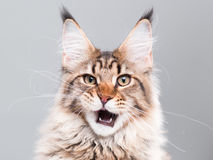 πορτρέτο του Maine γατών coon Στοκ φωτογραφία με δικαίωμα ελεύθερης χρήσης