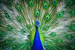 Πορτρέτο του peacock με την ανθισμένη ουρά Στοκ φωτογραφίες με δικαίωμα ελεύθερης χρήσης
