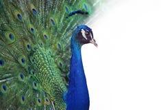 Πορτρέτο του peacock στοκ εικόνα με δικαίωμα ελεύθερης χρήσης