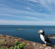 Πορτρέτο του puffin που κοιτάζει έξω στη θάλασσα στην αποικία puffin σε Hebrides Στοκ εικόνα με δικαίωμα ελεύθερης χρήσης
