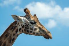 Πορτρέτο των αστείων clos giraffe ζωικός μόνο επικεφαλής και λαιμών Στοκ Φωτογραφία