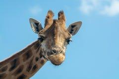 Πορτρέτο των αστείων clos giraffe ζωικός μόνο επικεφαλής και λαιμών Στοκ Φωτογραφίες