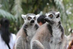 Πορτρέτο των κερκοπιθήκων της Μαδαγασκάρης στη φύση Στοκ εικόνες με δικαίωμα ελεύθερης χρήσης