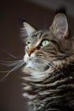 Πορτρέτο των μεγάλων γατών. Στοκ εικόνα με δικαίωμα ελεύθερης χρήσης