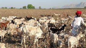 Πορτρέτο των φυλάκων βοοειδών στον τομέα στο Jodhpur φιλμ μικρού μήκους
