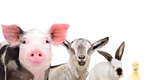 Πορτρέτο των χαριτωμένων ζώων αγροκτημάτων, κινηματογράφηση σε πρώτο πλάνο στοκ εικόνες