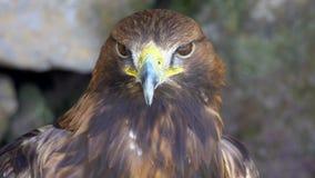 Πορτρέτο των χρυσών chrysaetos Aquila αετών απόθεμα βίντεο
