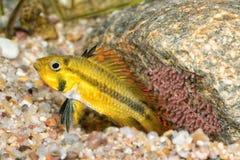 Πορτρέτο των ψαριών Apistogramma cichlid cacatuoides Στοκ φωτογραφία με δικαίωμα ελεύθερης χρήσης