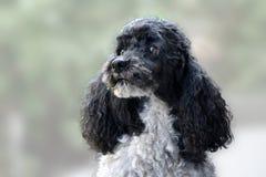 Πορτρέτο υπερήφανο poodle harlequin Στοκ Εικόνες