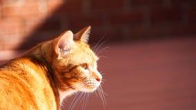 Πορτρέτο χαριτωμένου εσωτερικού κόκκινου στενού επάνω γατών στο ρόδινο υπόβαθρο στοκ εικόνα