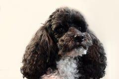 Πορτρέτο χαριτωμένο poodle harlequin Στοκ εικόνα με δικαίωμα ελεύθερης χρήσης