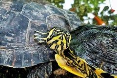 Πορτρέτο χελωνών Στοκ Εικόνες