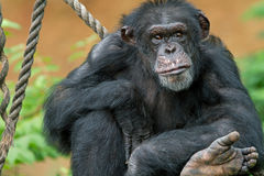 πορτρέτο χιμπατζών Στοκ εικόνες με δικαίωμα ελεύθερης χρήσης