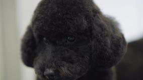 Πορτρέτο χνουδωτού χαριτωμένου μαύρου στενού του επάνω κουταβιών Λατρευτό τίναγμα σκυλιών στο σαλόνι κατοικίδιων ζώων μετά από το απόθεμα βίντεο