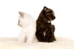 Πορτρέτο δύο βρετανικών γατακιών Shorthair που κάθονται, 8 εβδομάδες παλαιός, Στοκ Εικόνες