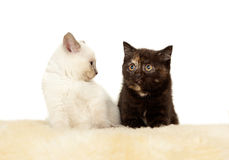 Πορτρέτο δύο βρετανικών γατακιών Shorthair που κάθονται, 8 εβδομάδες παλαιός Στοκ Φωτογραφίες