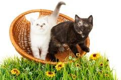 Πορτρέτο δύο βρετανικών γατακιών Shorthair που κάθονται, 8 εβδομάδες παλαιός Στοκ φωτογραφία με δικαίωμα ελεύθερης χρήσης