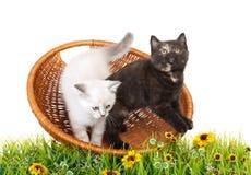 Πορτρέτο δύο βρετανικών γατακιών Shorthair που κάθονται, 8 εβδομάδες παλαιός Στοκ Φωτογραφία