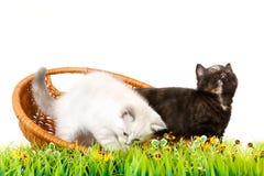 Πορτρέτο δύο βρετανικών γατακιών Shorthair που κάθονται, 8 εβδομάδες παλαιός Στοκ εικόνες με δικαίωμα ελεύθερης χρήσης