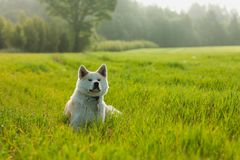 Πορτρέτο Akita Inu σε έναν πράσινο τομέα σίτου το καλοκαίρι στοκ φωτογραφία με δικαίωμα ελεύθερης χρήσης