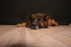 Πορτρέτο Alfie ` s σκυλιών Sheperd Germen σε Black&white Backround στοκ εικόνες