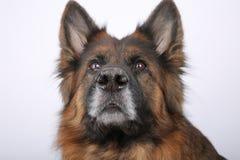 Πορτρέτο Alfie ` s σκυλιών Sheperd Germen σε Black&white Backround στοκ φωτογραφίες