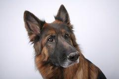 Πορτρέτο Alfie ` s σκυλιών Sheperd Germen σε Black&white Backround στοκ εικόνα