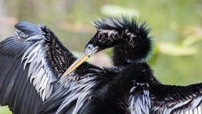Πορτρέτο Anhinga, εθνικό πάρκο Everglades, Φλώριδα Στοκ Εικόνες