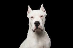Πορτρέτο Argentino Dogo Στοκ Εικόνα