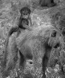 πορτρέτο baboon μωρών που οδηγά στις μητέρες πίσω στοκ εικόνες με δικαίωμα ελεύθερης χρήσης