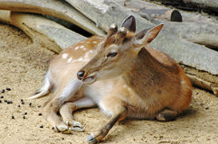 πορτρέτο bambi Στοκ εικόνα με δικαίωμα ελεύθερης χρήσης