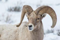 Πορτρέτο Bighorn στοκ εικόνες