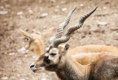 Πορτρέτο Blackbuck - cervicapra Antilope, ζεύγος της αντιλόπης, $cu Στοκ Εικόνες